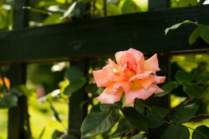 flower-fence-pink-rose